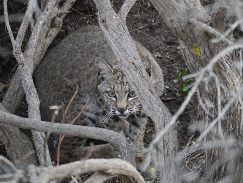 P1150776 Bobcat ( Lynx rufus)