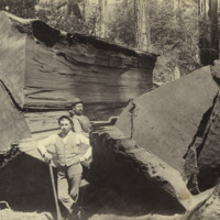 Loggers and massive trunks