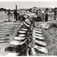 Blue whale skeleton. Long Marine Laboratory. Early 1980s. Later named Ms. Blue and installed on display outside the Seymour Marine Discovery Center