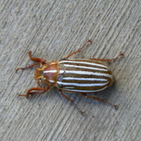Ten-Lined June Beetle or Long-Haired June Beetle or Hissing Beetle, SCARABAEIDAE (Polyphylla decimlineata)