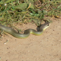 Western Yellow-bellied Racer copy.jpg