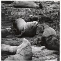 California sea lions. Circa 1980s
